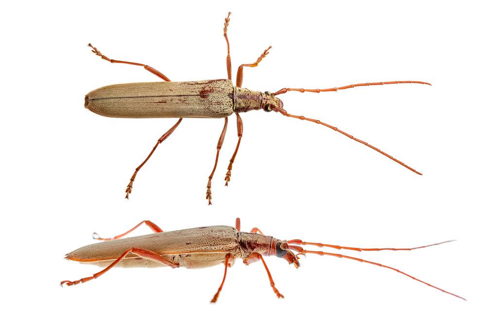 Longicorn Beetle (Scolecobrotus sp.)