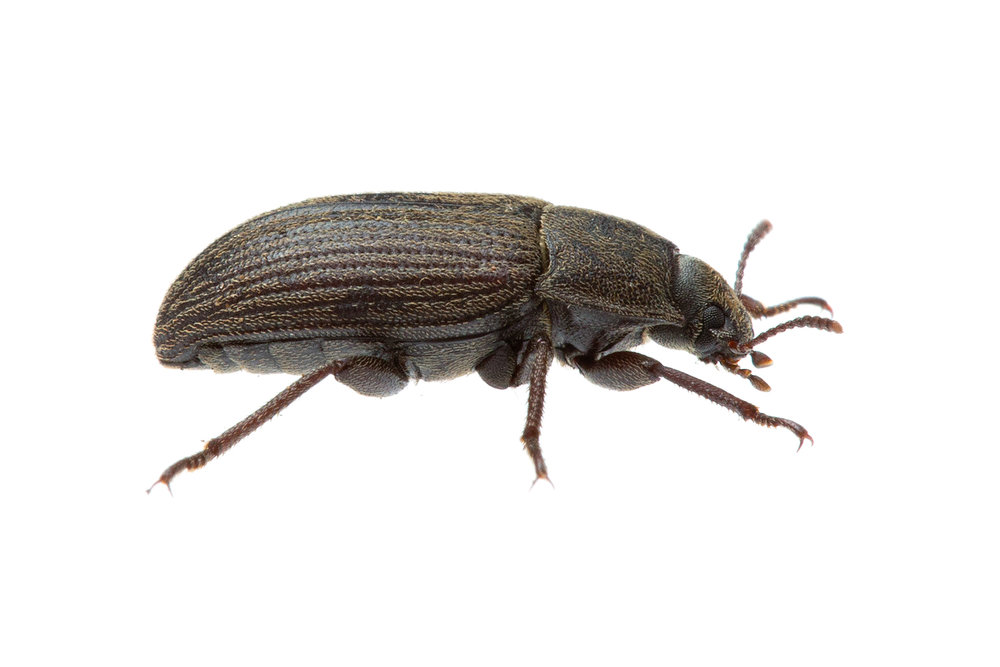 Darkling Beetle (Gonocephalus sp.)