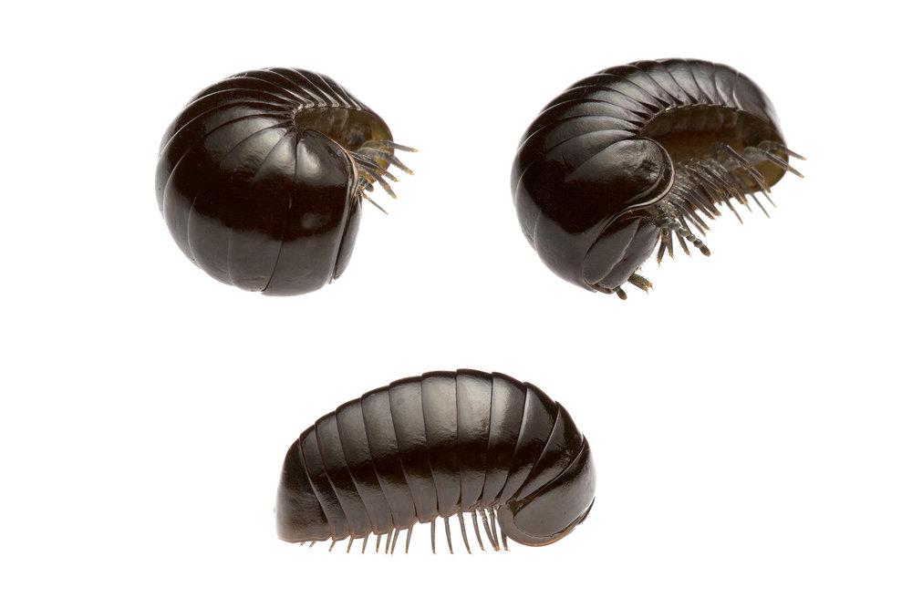 Pill Millipede - Cynotelopus notabilis