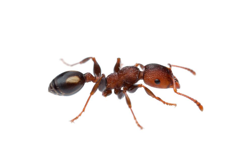 Muscleman Tree Ant (Podomyrma adelaidae)