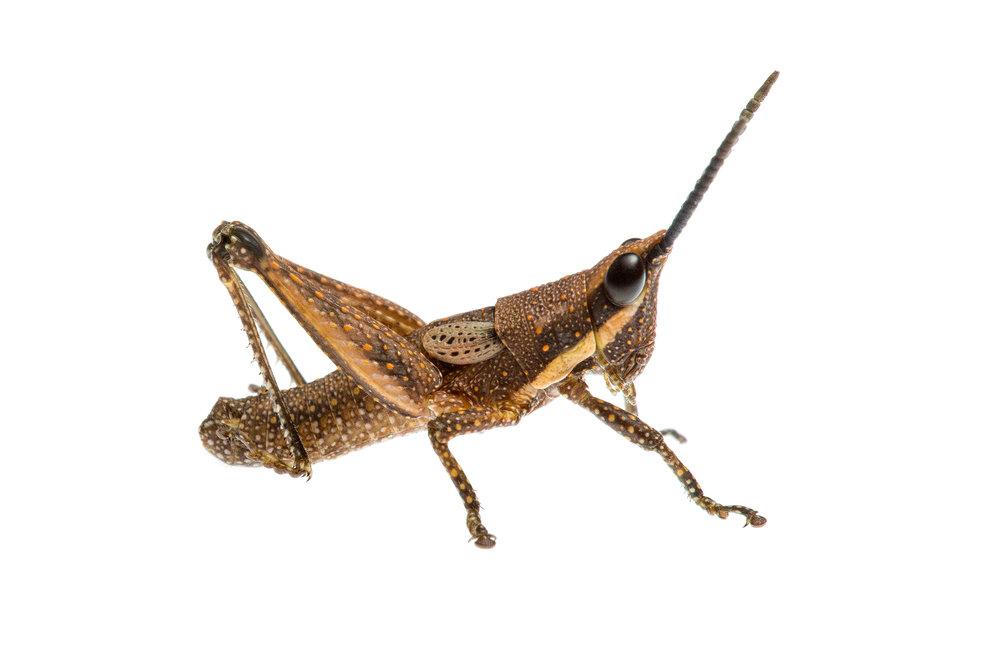 Pyrgomorph Grasshopper nymph (Monistria sp.)
