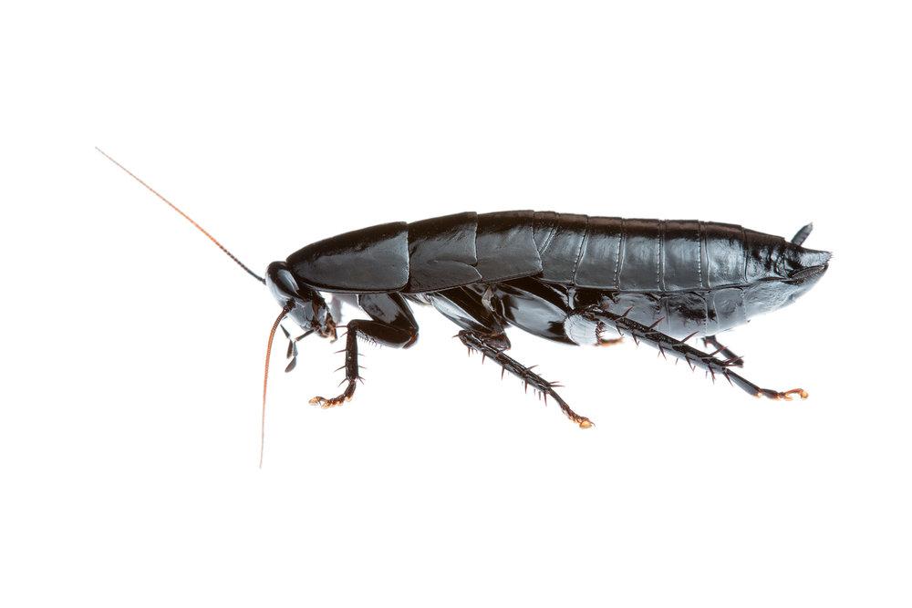 Shiny Black Cockroach (Polyzosteriinae family)