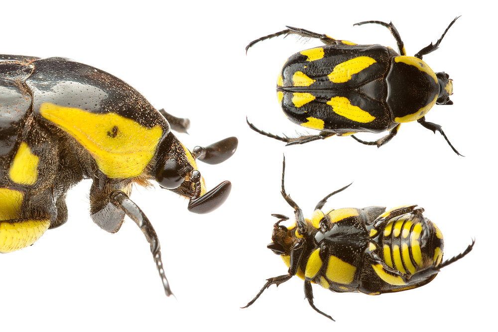 Black & Yellow Scarab Beetle (Chlorobapta goerlingi)