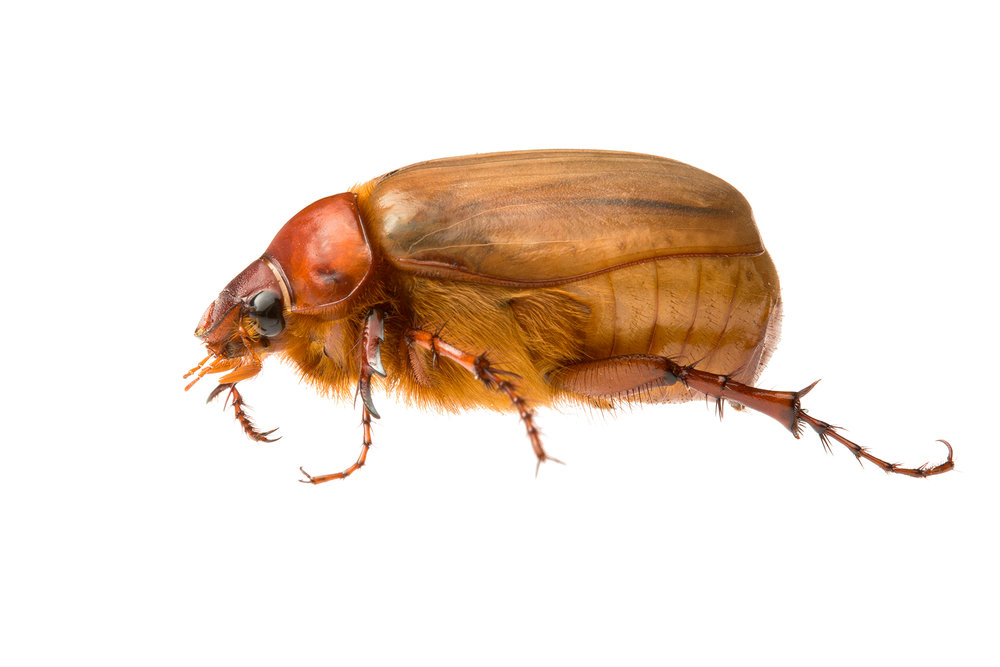 Golden Brown Scarab (Colpochila sp.)