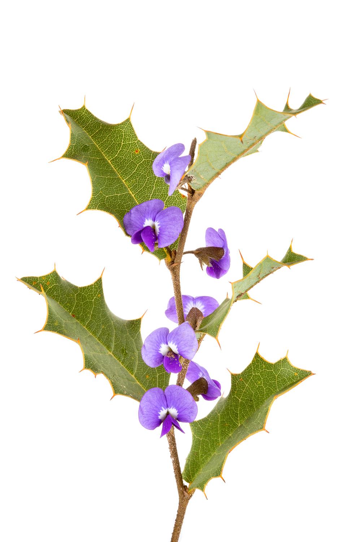 Prickly Hovea (Hovea chorizemifolia)