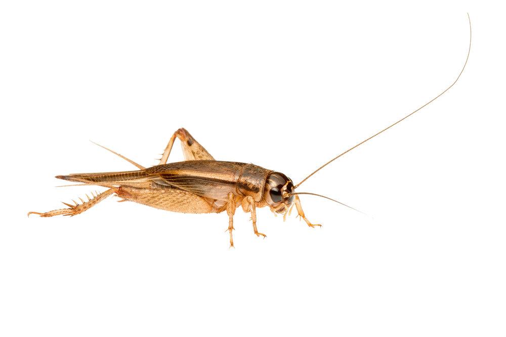 Bush Cricket (Lepidogryllus sp.)