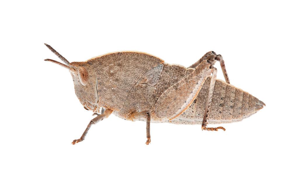 Gumleaf Grasshopper Nymph (Goniaea australasiae)