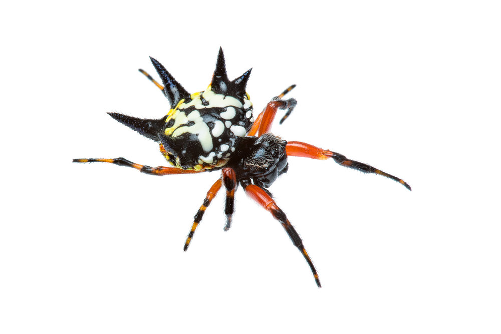 christmas spider austracantha minax - The Christmas Spider