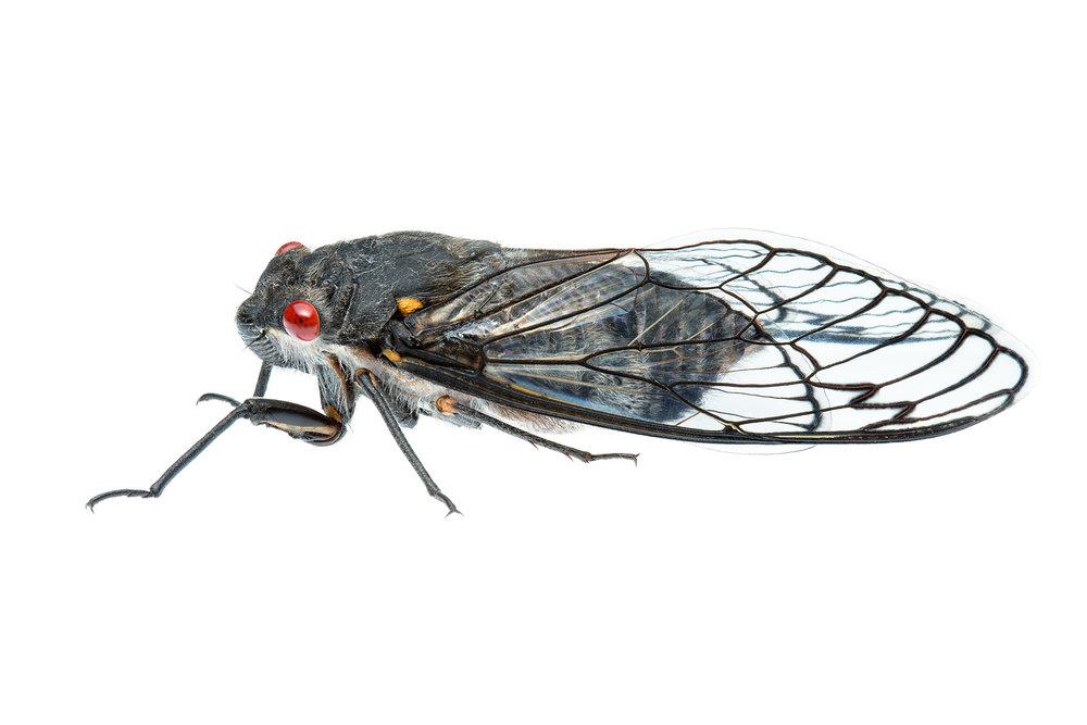 Redeye Cicada (Psaltoda moerens)