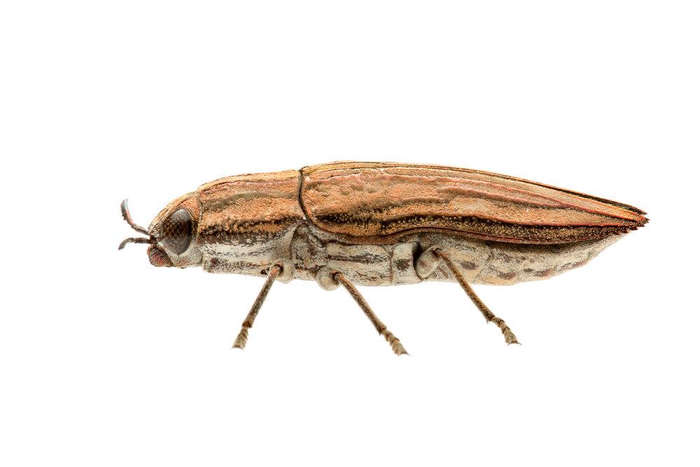 Jewel Beetle (Chalcophorotaenia exilis)