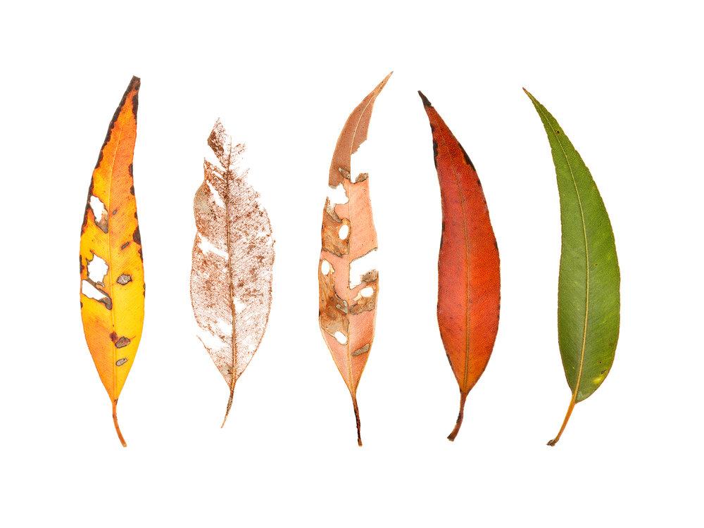 Five Karri Leaves (Eucalyptus diversicolor)