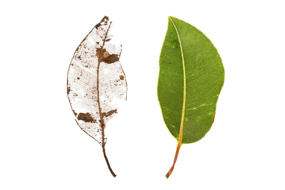 Marri Leaves (Corymbia calophylla)