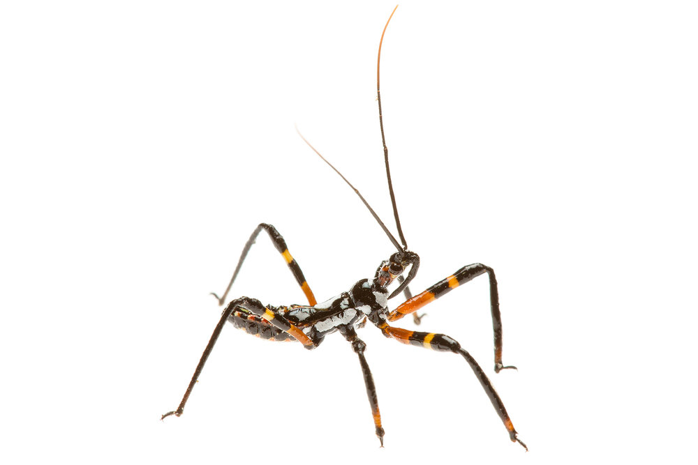 Unidentified Assassin Bug (Reduviidae Family)