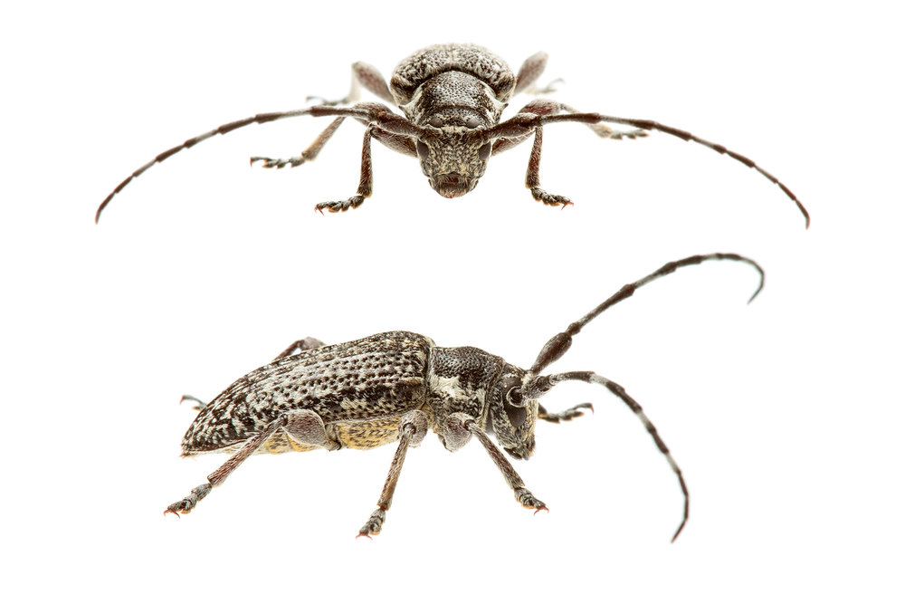 Longicorn Beetle (Cerambycidae family)