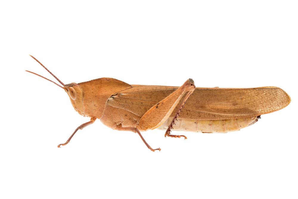 Gumleaf Grasshopper (Goniaea australasiae)
