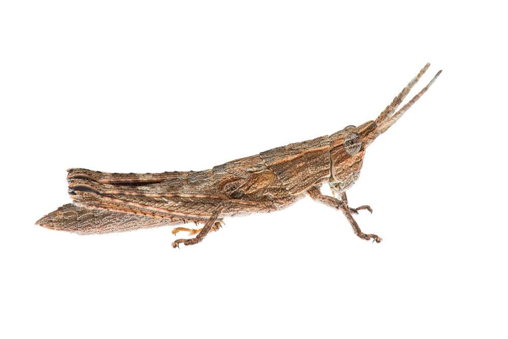 Bark-Mimicking Nymph (Coryphistes ruricola)