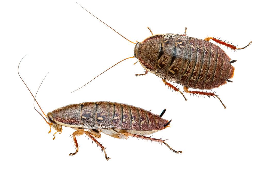 Cockroach to ID (Zonioploca sp?)