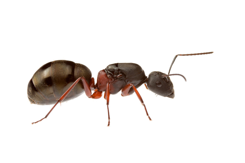 Queen Ant to ID
