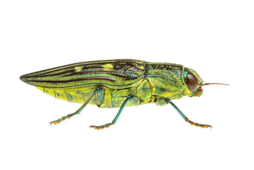 Yellow Jewel Beetle (Chalcophorotaenia australasiae)