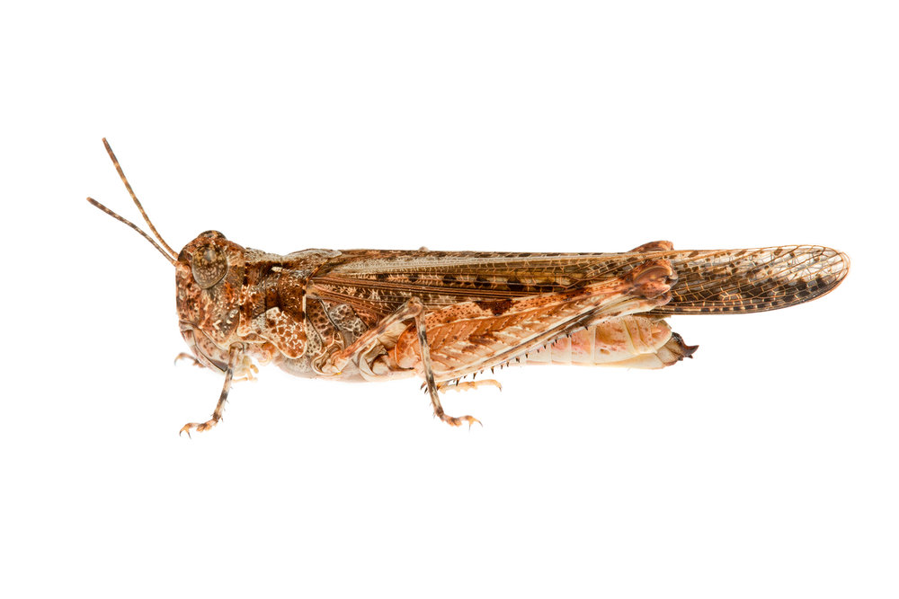 Grasshopper (Pycnostictus seriatus)