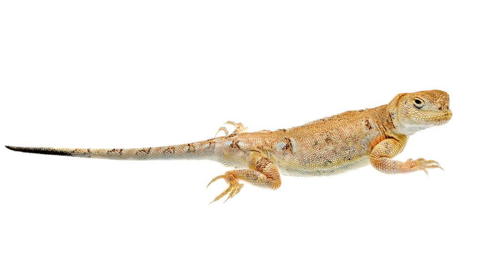 Toad-headed Agama (Phrynocephalus versicolor)