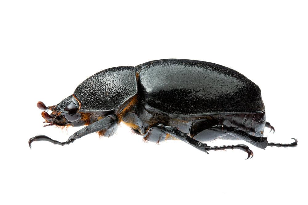 Female Rhinoceros Beetle (Xylotrupes ulysses australicus)