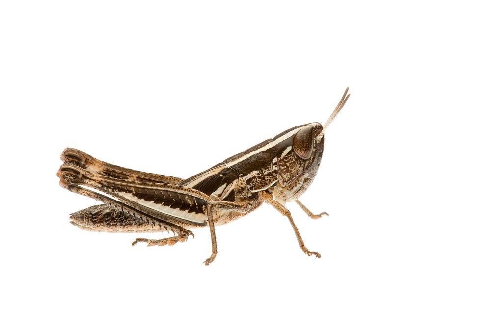 Macrotona Grasshopper (Macrotona sp.)