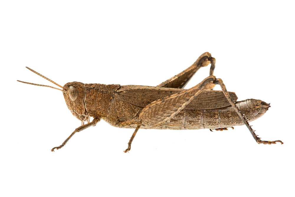 Unidentified Grasshopper