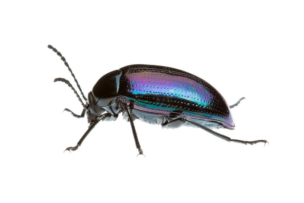 Purple Darkling Beetle (Cyphaleus sp)