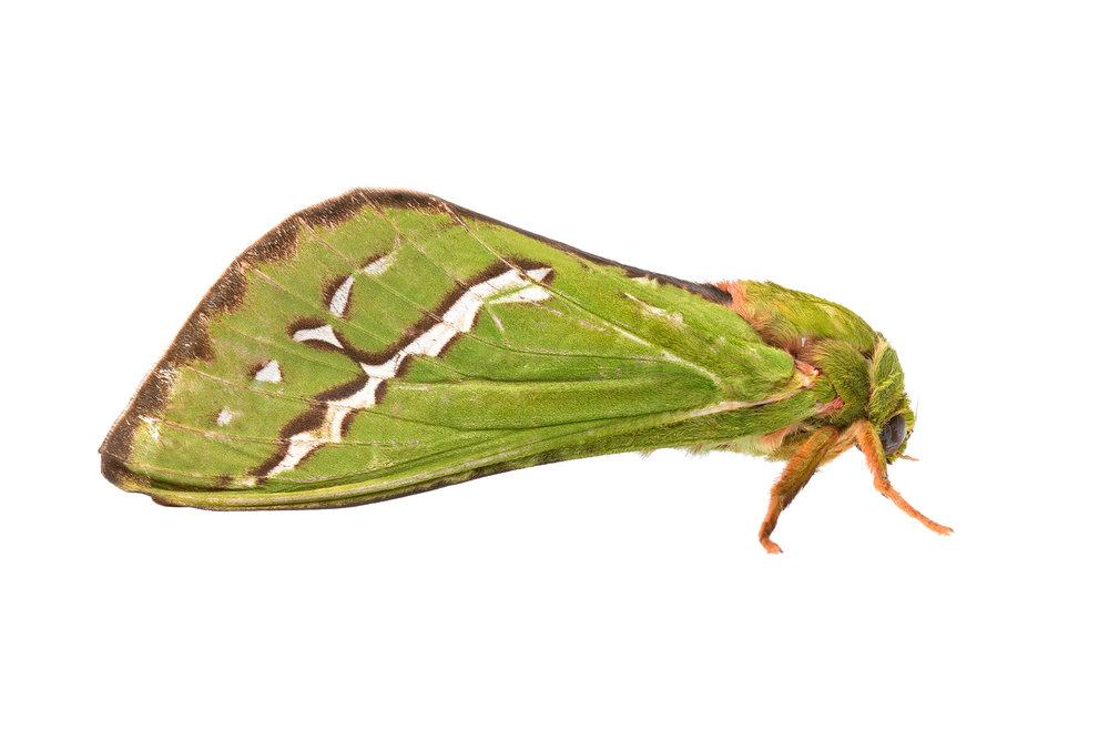 Karri Moth (Aenetus dulcis)