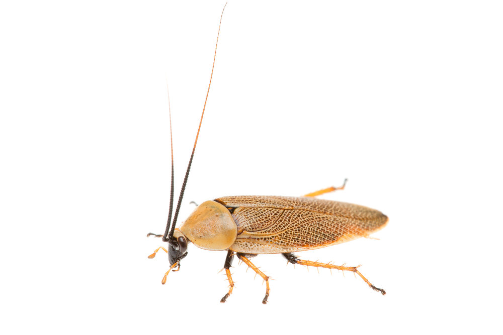 Bush Cockroach (Ellipsidion humerale)