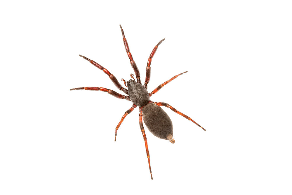 White-tailed spider (Lampona cylindrata)