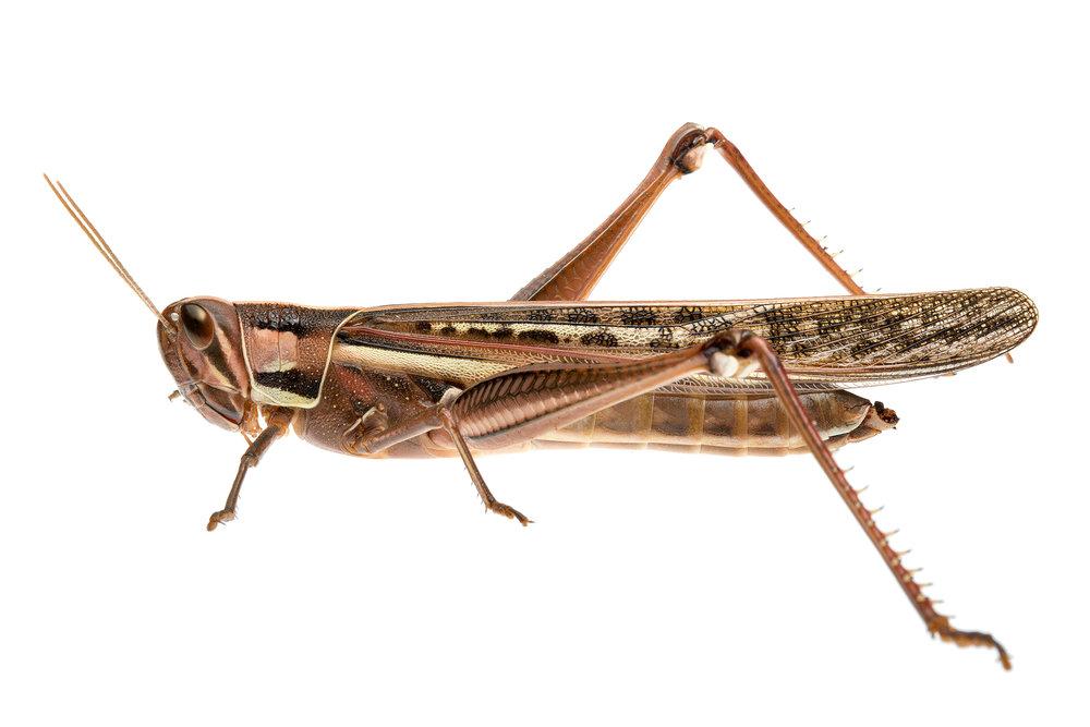 Australian birdwing grasshopper (Austracris sp.)