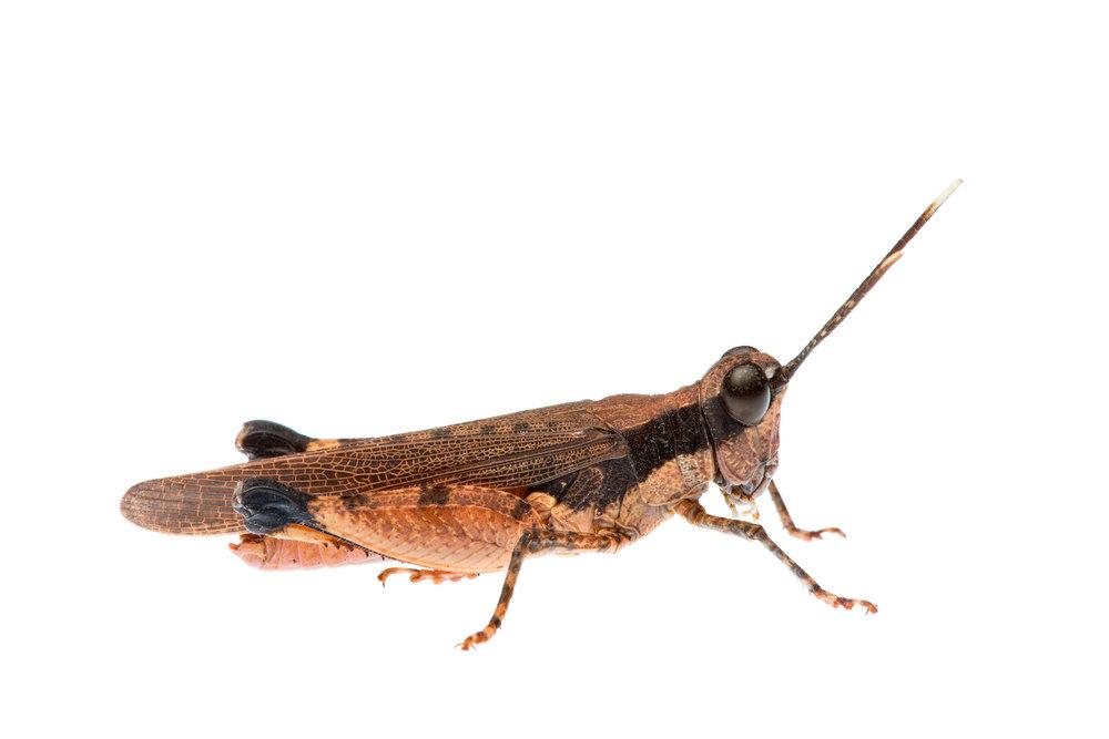 Perbellia Grasshopper (Perbellia picta)