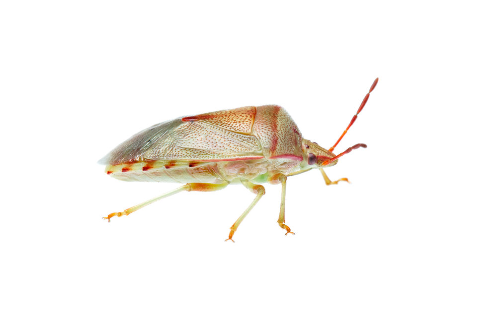 True Bugs to ID - (Acanthosomatidae Family)