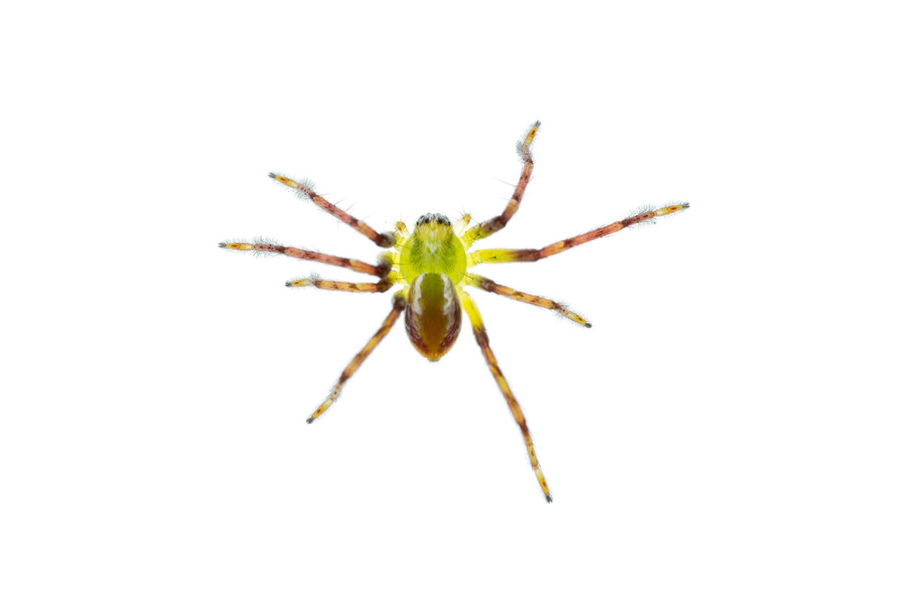 Green Spider to ID - Stirling Range