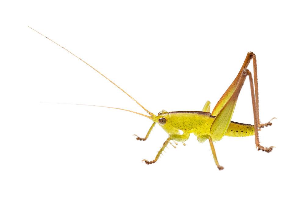 Stirling Range katydid (Tettigoniidae family)