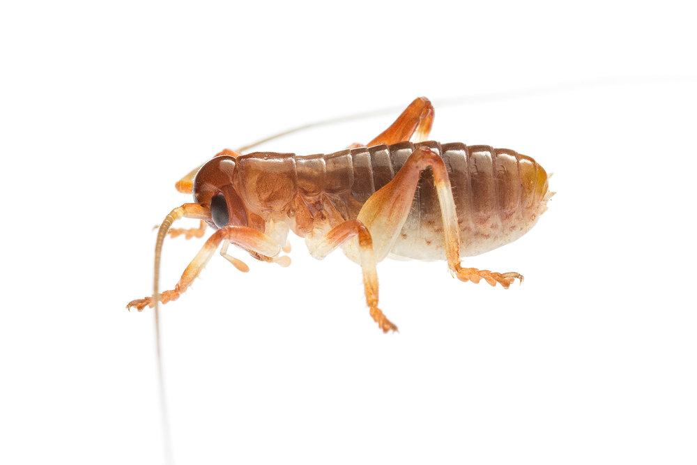 Raspy Cricket (Gryllacrididae family)
