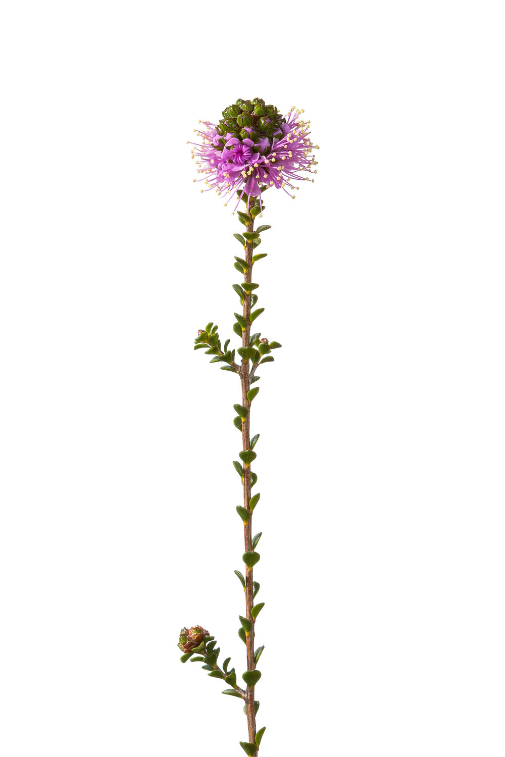 Pink Kunzea (Kunzea preissiana)