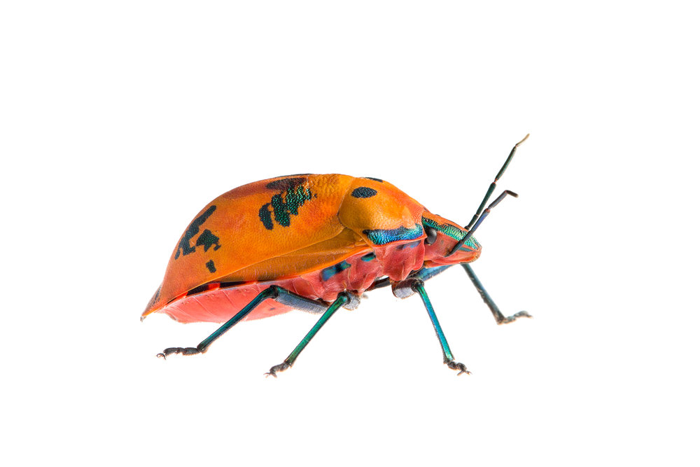 Cotton Harlequin Bug (Tectocoris diophthalmus)