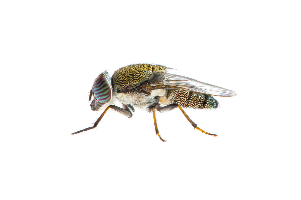 Nose Fly (Stomorhina sp)