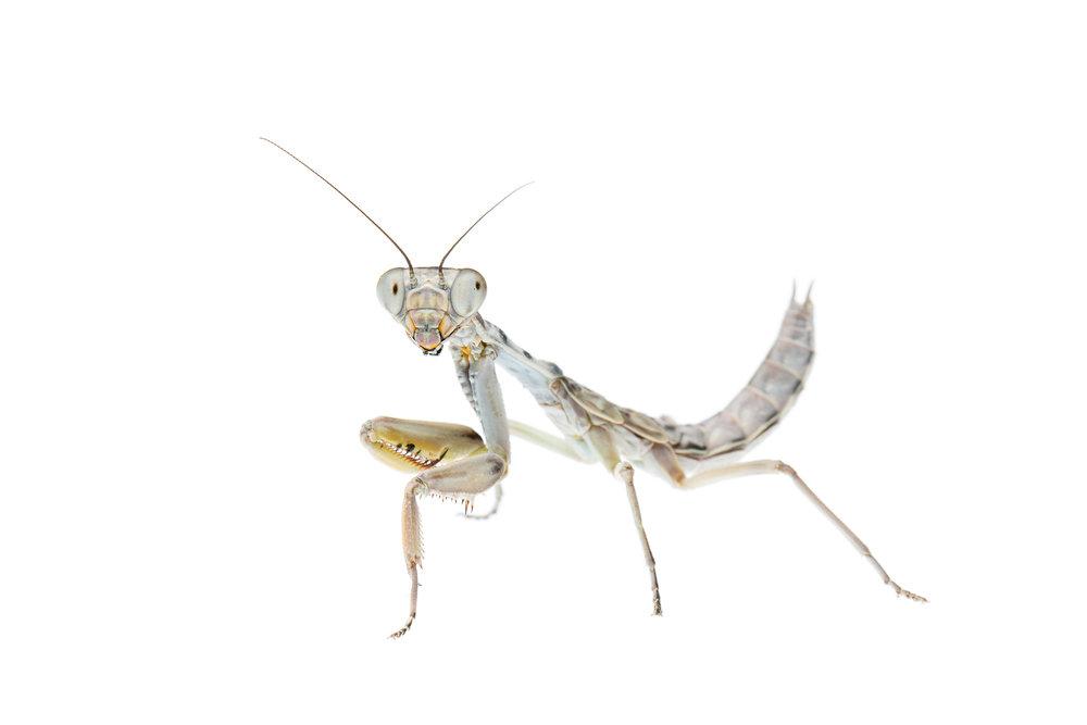 Burying Mantis (Sphodropoda sp)