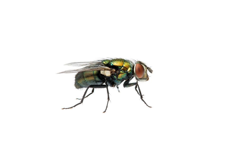 Green Blowfly (Lucilia sericata)