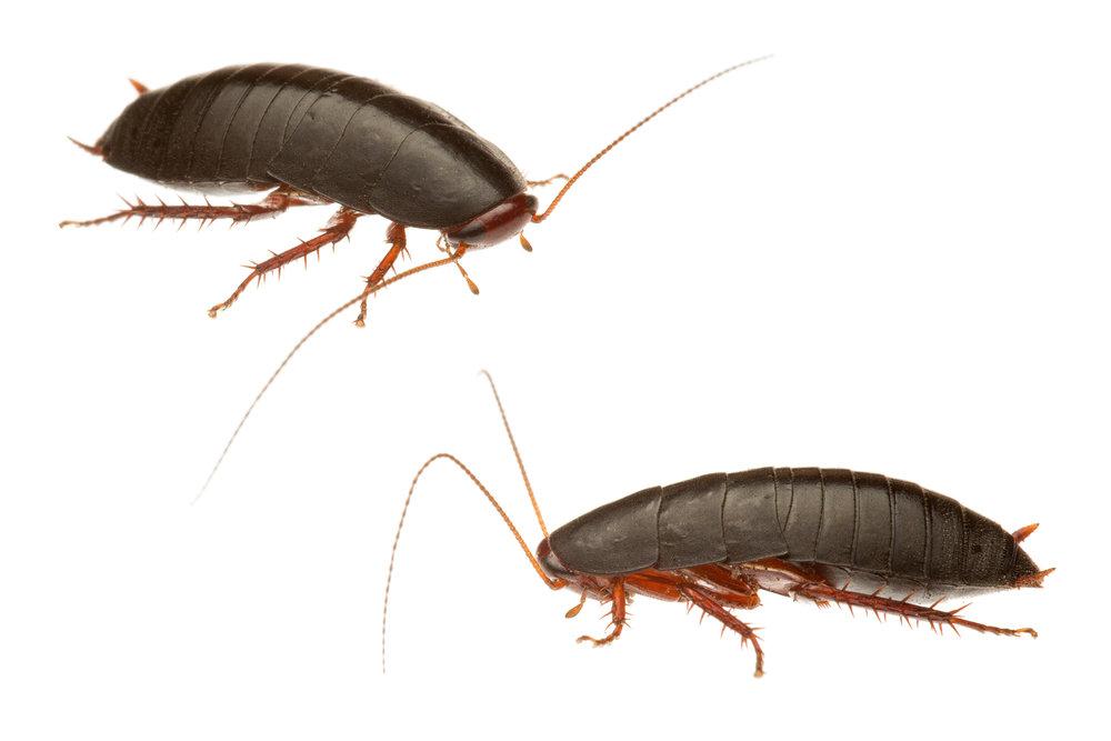 Red-Legged Litter Runner (Platyzosteria similis)