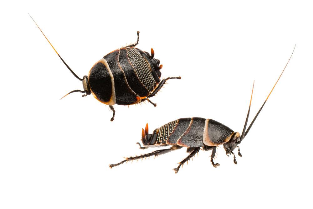 Cockroach nymph (Ellipsidion sp.)