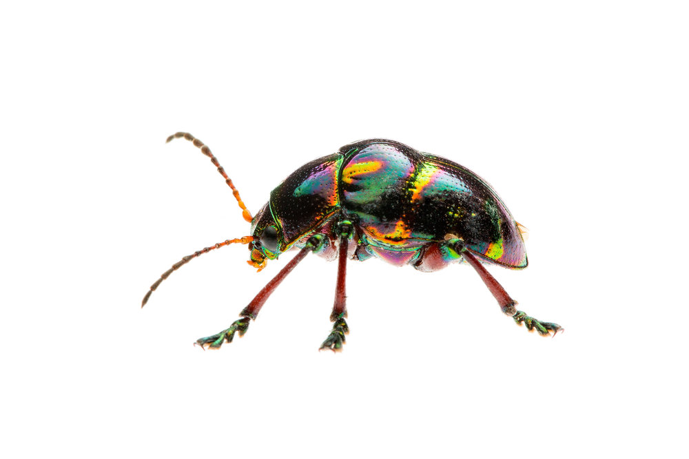 Shiny Leaf Beetle (Spilopyra sp.)