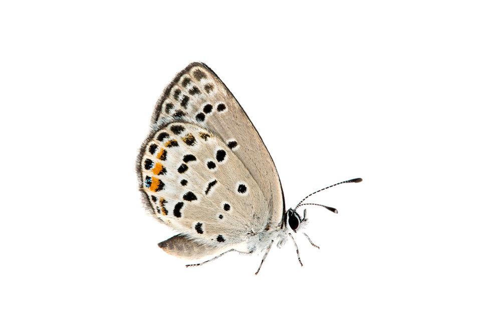 Gossamer-winged Butterfly (Polyommatus sp)