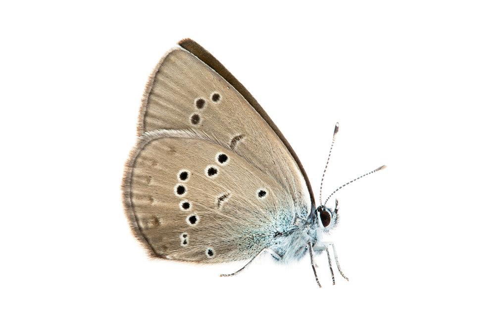 Gossamer-winged Butterfly (Glaucopsyche lycormas)