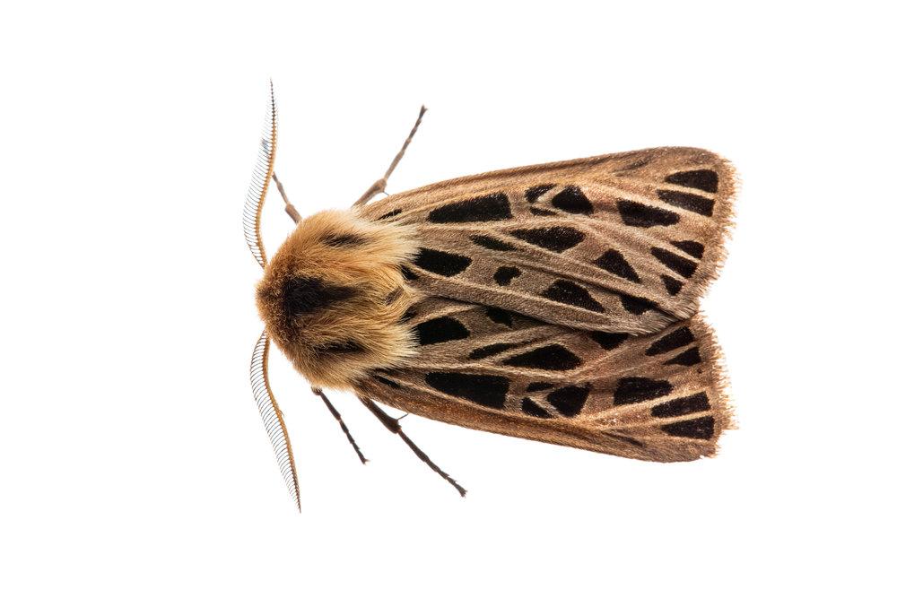 Tiger Moth (Chelis sp.)