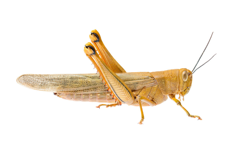 Giant Grasshopper Adult (Valanga irregularis)